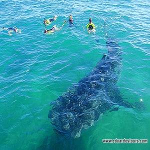 Whale shark experience